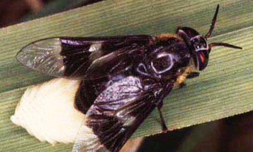 an adult female deer fly chrysops cincticornis laying eggs