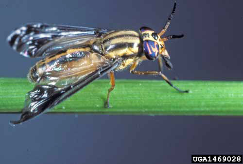 deer flies, yellow flies and horse flies - Chrysops