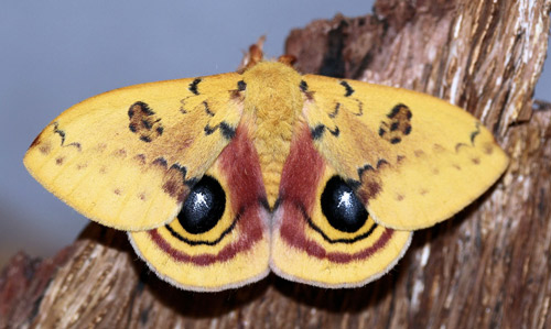 Male Io moth, Automeris io (Fabricius)