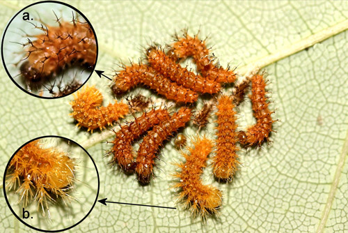 Io moth larvae, Automeris io (Fabricius), first (inset a.) to second (inset b.) instar molt.