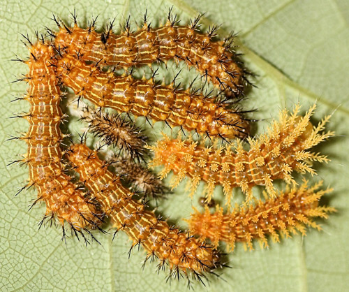 Io moth larvae, Automeris io (Fabricius), third to fourth instar molt.