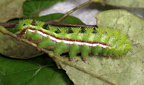Io moth, Automeris io (Fabricius), full-grown larva.