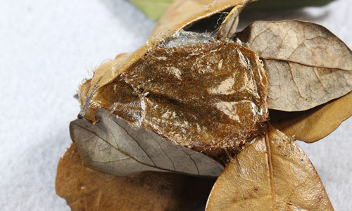 Io moth cocoon, Automeris io (Fabricius), with dead leaf removed for photography.
