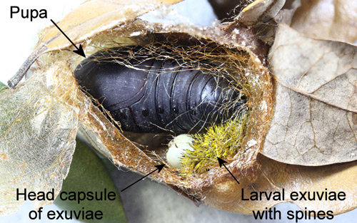 Io moth, Automeris io (Fabricius), cocoon opened to show larval exuviae and pupa.
