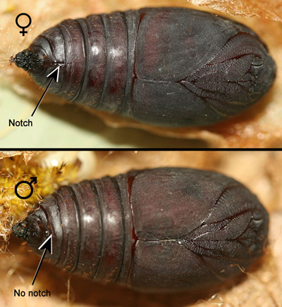 Io moth, Automeris io (Fabricius), female (top) and male (bottom) pupae.