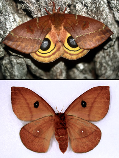 Female io moth, Automeris io (Fabricius), dorsal (top) and ventral (bottom) aspects.