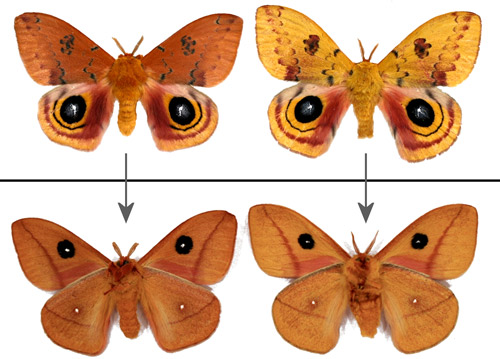 Male Io moths, Automeris io (Fabricius), showing some of the range of color variation - dorsal (top) and ventral (bottom) aspects. The male on the left was from a diapausing pupa - the one on the right from a non-diapausing pupa.