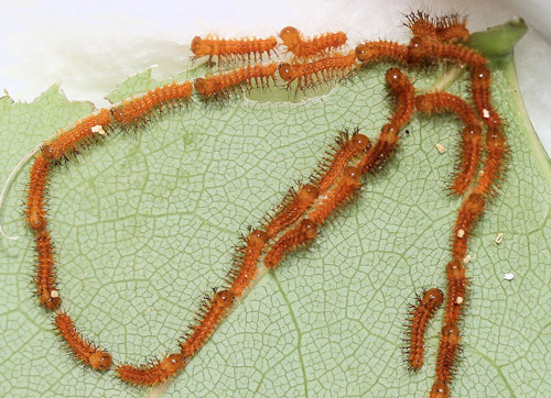 Io moth, Automeris io (Fabricius), first instar larvae in formation following silk trail to new feeding site.