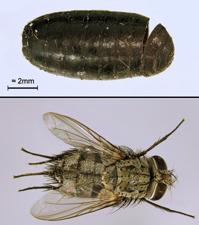 Tachinid fly parasitoid of Automeris io (Fabricius). Purparial shell (top) and adult fly that emerged from it (bottom).
