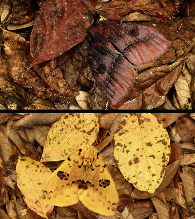 Io moth, Automeris io (Fabricius) - image of adult female digitally pasted into photo with dead Virginia creeper (Parthenocissus quinquefolia [Linnaeus]) leaflets (top); image of adult male digitally pasted into photo with dead flowering dogwood (Cornus florida Linnaeus) leaves (bottom).