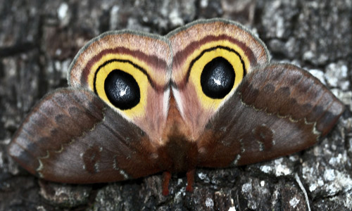 Io moth, Automeris io (Fabricius), adult female in startle posture.