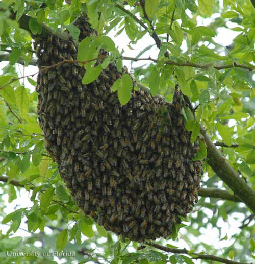 African Honey Bee Apis Mellifera Scutelatta Lepeletier Swarm In Tree