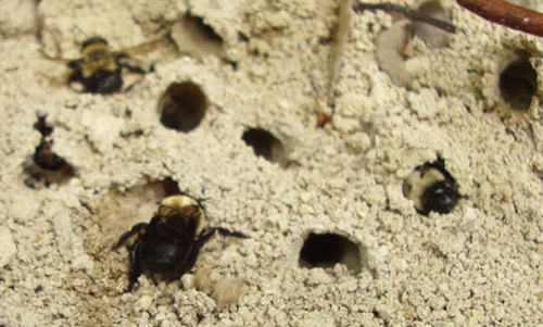Nesting Area Of The Miner Bee Anthophora Abrupta Say With At Least Three Females