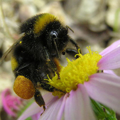 bumble bees of Florida Bombus spp