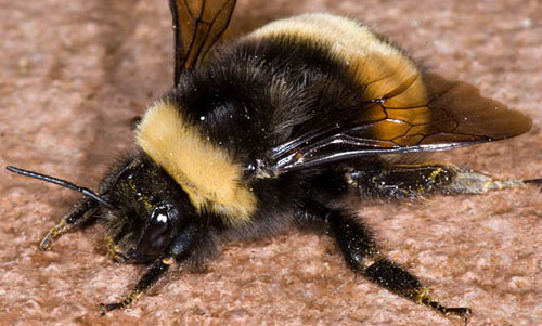 Black Bumble Bee >> Bumble Bees Of Florida Bombus Spp