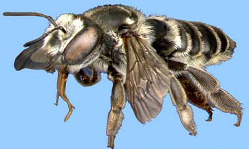 A Leafcutting Bee Megachile Sp
