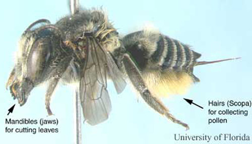 Side View Of A Female Leafcutting Bee Megachile Medica Cresson Note The Pollen