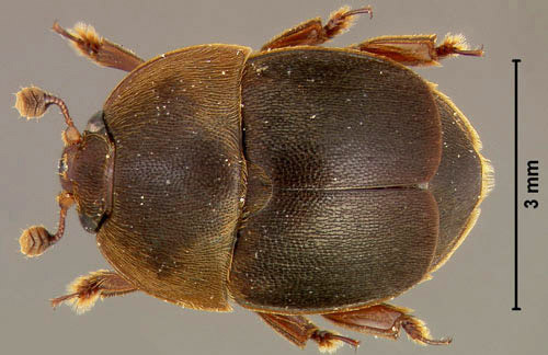 Dorsal view of an adult male small hive beetle, Aethina tumida Murray.