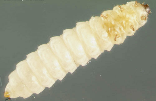 Larva of the small hive beetle, Aethina tumida Murray, ventral view.