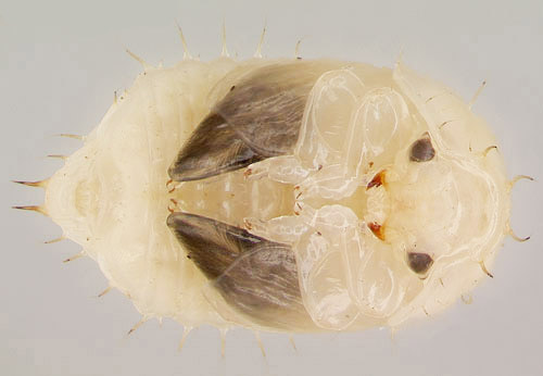 Pupa of a female small hive beetle, Aethina tumida Murray.