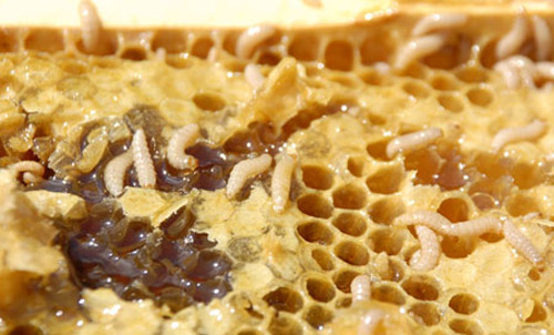 Honey comb showing fermenting honey and other damage caused by larvae of the small hive beetle, Aethina tumida Murray.