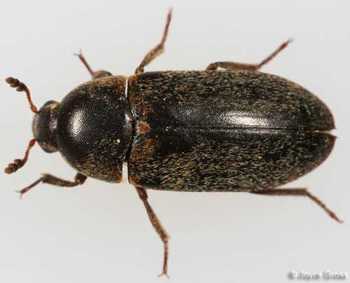 of an adult hide beetle  Beetle
