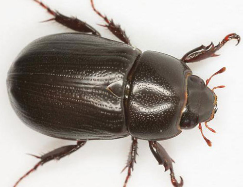 Adult male rice beetle   Beetle