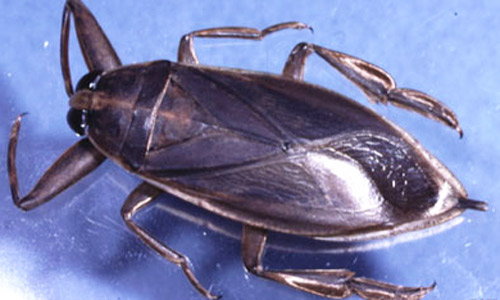 How to Get Rid of Brown Banded Roaches  Do It Yourself