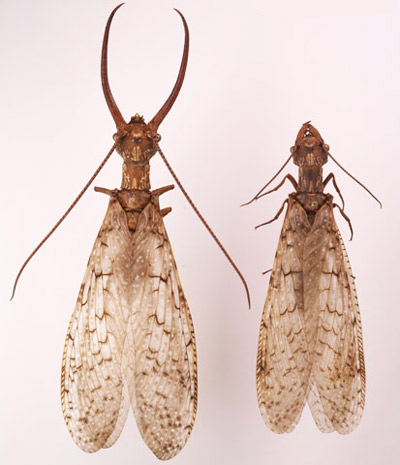Male and female eastern dobsonflies, Corydalus cornutus (Linnaeus), showing differences in mandibles and antennae.