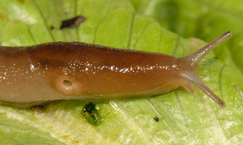 Lateral view of slug showing the breathing pore (pneumostome) open. When closed, the pore can be difficult to locate. Note that there are two pairs of tentacles, with the larger, upper pair bearing visual organs.