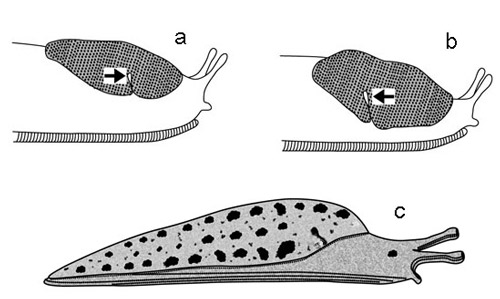 Diagram of slugs, showing two types of mantles, and alternate positions of the breathing pore (the arrow points to pore) relative to mid-point of mantle. Slugs at top (a,b) have the mantle located only anteriorly. This is often called a 'saddle-like' mantle. Slug 'a' shows anterior (relative to the mid-point) location of pore; slug 'b' shows posterior location. The slug shown below (c) has the mantle covering 2/3 of its body, but the anterior (head) region is exposed. Several slugs found in Florida have yet another mantle arrangement, wherein the entire dorsal surface is covered with the mantle.