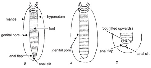 View of veronicellid slugs showing diagnostic features visible from below (ventrally). Drawing on left (a) illustrates genital pore not adjacent to foot, near center of hyponotum; drawing in center (b) shows genital pore adjacent to foot, at the edge of the hyponotum; and drawing on right (c) shows tip of foot being lifted to expose anal slit.