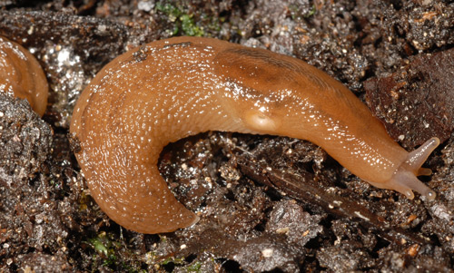 Dorsal view of the banded slug, Lehmannia valentiana (Férussac, 1822).