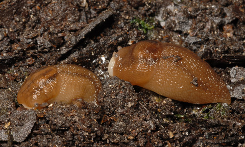 Dorsal-lateral view of the banded slug, Lehmannia valentiana (Férussac, 1822), with light-pigmented breathing pore visible.