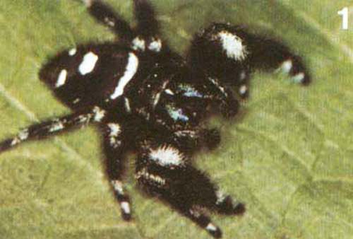 Small Hairy Spiders