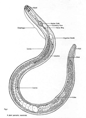 Soil Inhabiting Nematodes Phylum Nematoda