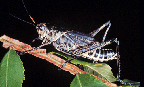 The study of grasshoppers