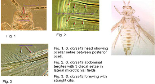 chilli thrips - Scirtothrips dorsalis Hood