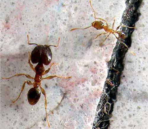 Bigheaded ant, Pheidole megacephala (Fabricius), minor (upper left) and major (lower right) workers.