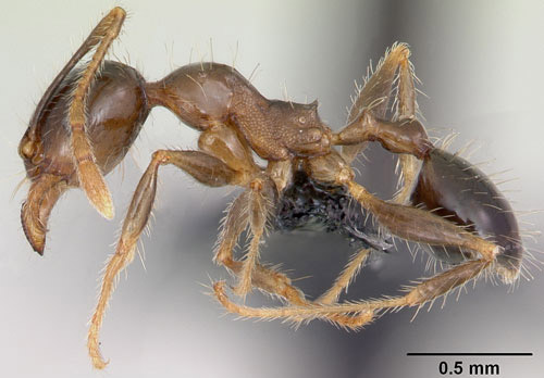 Lateral view of minor worker of the bigheaded ant, Pheidole megacephala (Fabricius). Specimen is from Mauritius.