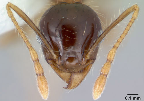 Frontal view of the head of a bigheaded ant, Pheidole megacephala (Fabricius), showing 12-segmented antennae. Front part of head is sculptured, while the back half is smooth and shiny.