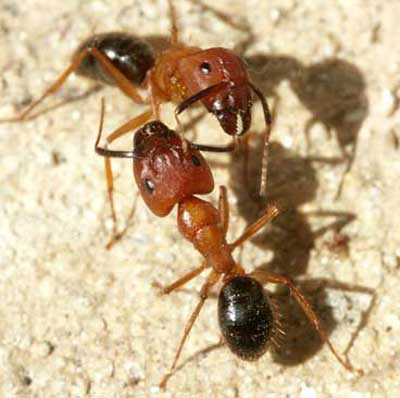 Major workers of Camponatus sp. Florida carpenter ant   Camponotus floridanus  Buckley  and