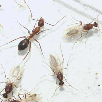 Worker And Male Reproductives Of The Tortugas Carpenter Ant Camponatus Tortug Emery