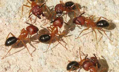 Winged Ants in Florida Florida Carpenter Ant Workers