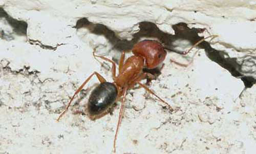 Worker of the Florida carpenter ant  Camponatus floridanus  Buckley    entering a void. Florida carpenter ant   Camponotus floridanus  Buckley  and