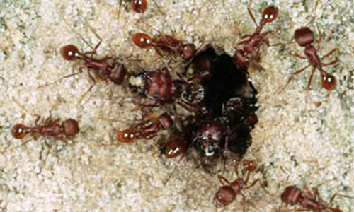 Winged Ants in Florida The Florida Harvester Ant