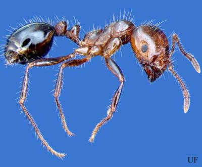 Red Imported Fire Ant Solenopsis Invicta - Map-of-fire-ants-in-us