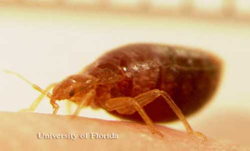 Can Bed Bugs Cause Diseases
