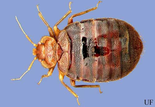 Dorsal View Of An Adult Bed Bug, Cimex Lectularius Linnaeus.