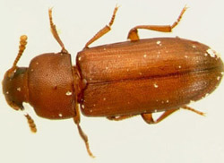 red and confused flour beetles - Tribolium Spp.